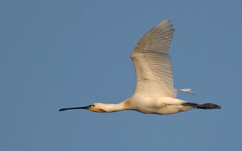 Vliegende lepelaar (© Jeroen Reneerkens)