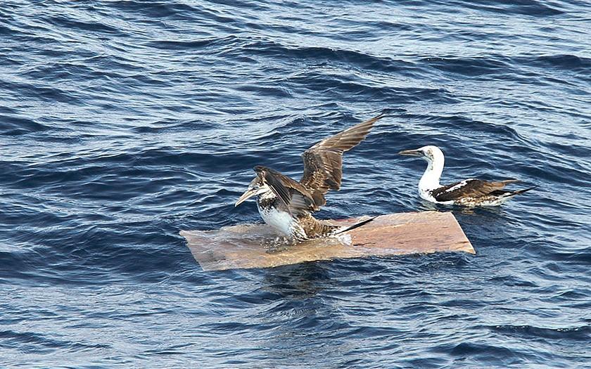 Jan-van-genten bij zwerf plank (© Marijke de Boer)