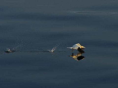 Jan-van-gent vliegt net boven de oppervlakte