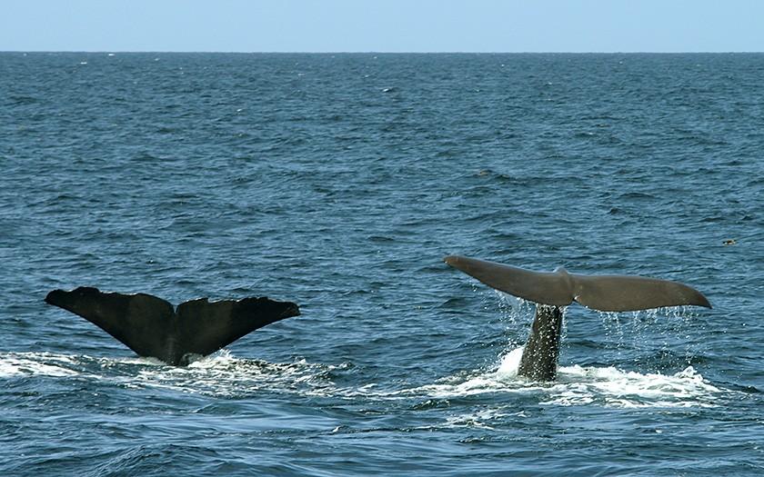 Potvissen, grote walvissen, gezien in de Noordzee (© Marijke de Boer)