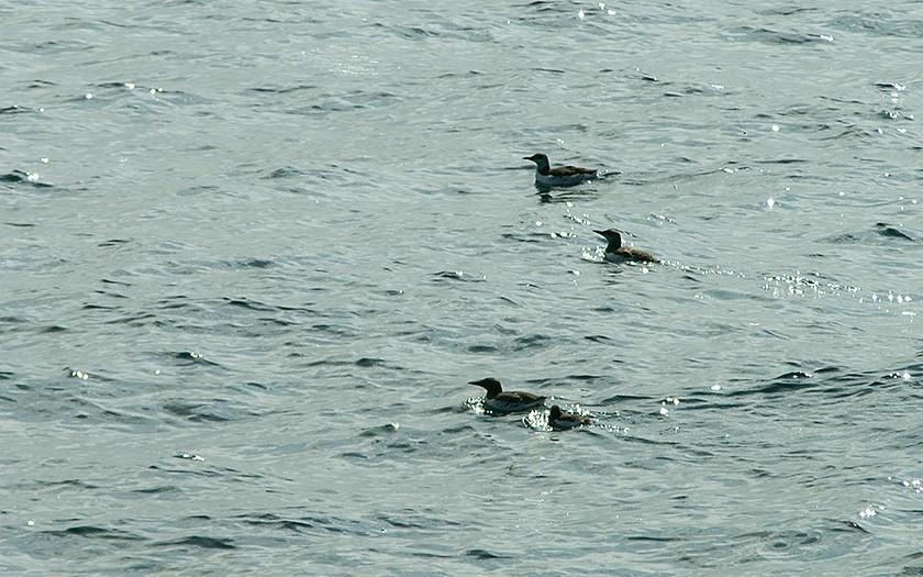 Zwemmende zeekoeten (© Marijke de Boer)
