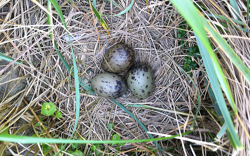 Nest with eggs from a common gull, photo Ecomare