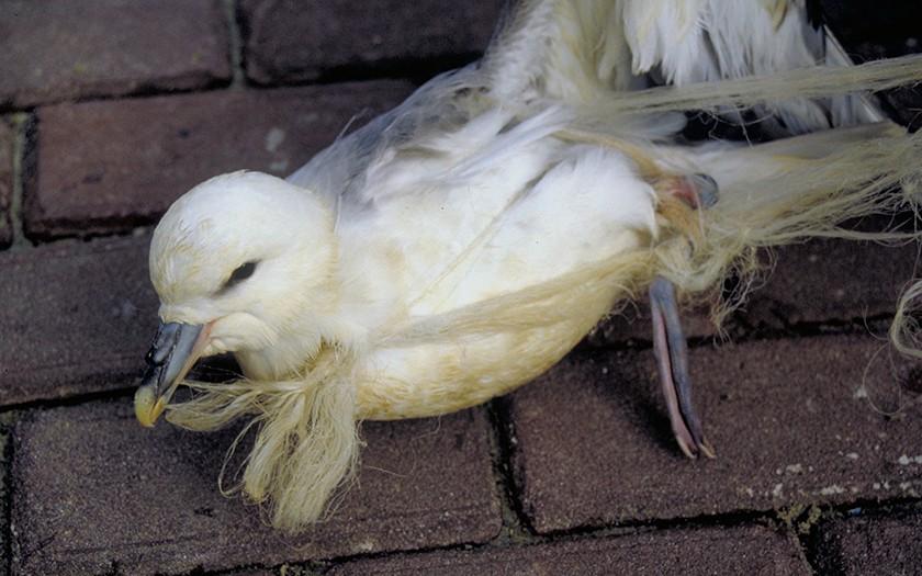 Noordse stormvogel met plastic rond zijn snavel