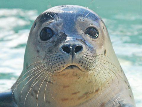 Gewone zeehond in de opvang bij Ecomare