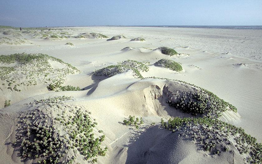 Zeepostelein. Foto Sytske Dijksen