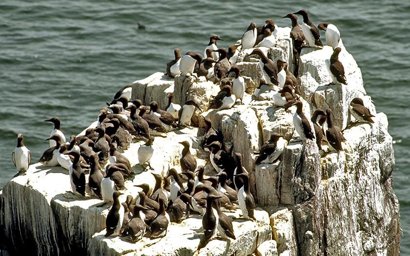 Zeekoeten op een rots (foto Ecomare)