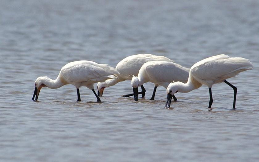 Fishing spoonbills (© Ecomare)
