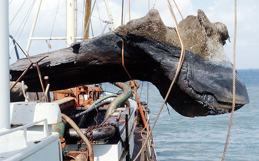 1978: schedel van potvis wordt opgevist bij Vlieland (archief Ecomare)