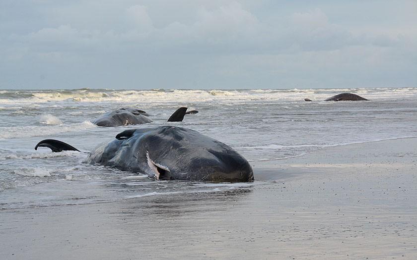 Dode potvissen aangespoeld op het strand