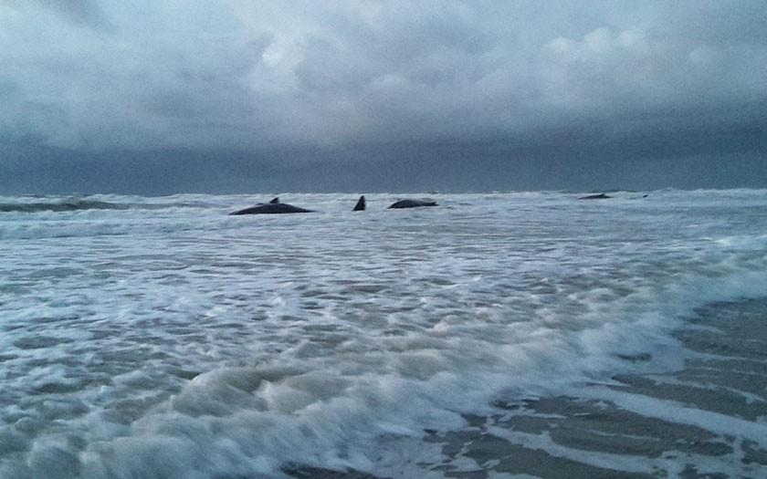 De gestrande potvissen bij paal 12 (foto Ecomare)