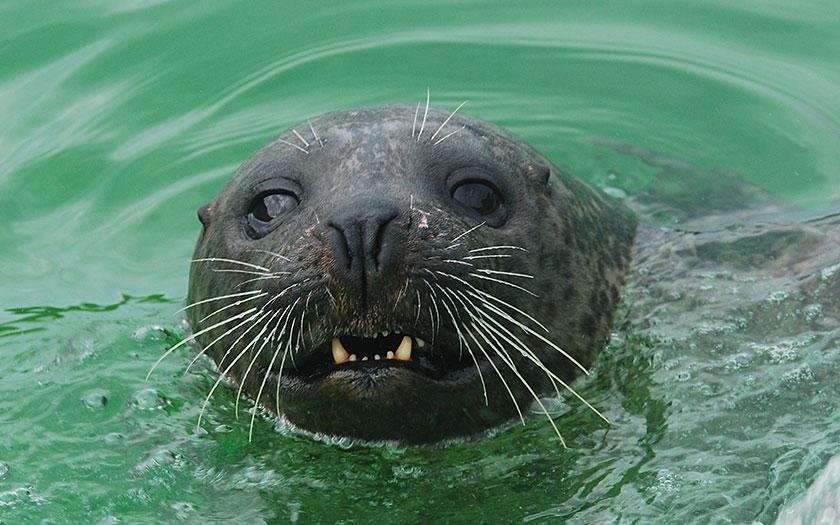 Grijze zeehond laat zijn snijtanden zien