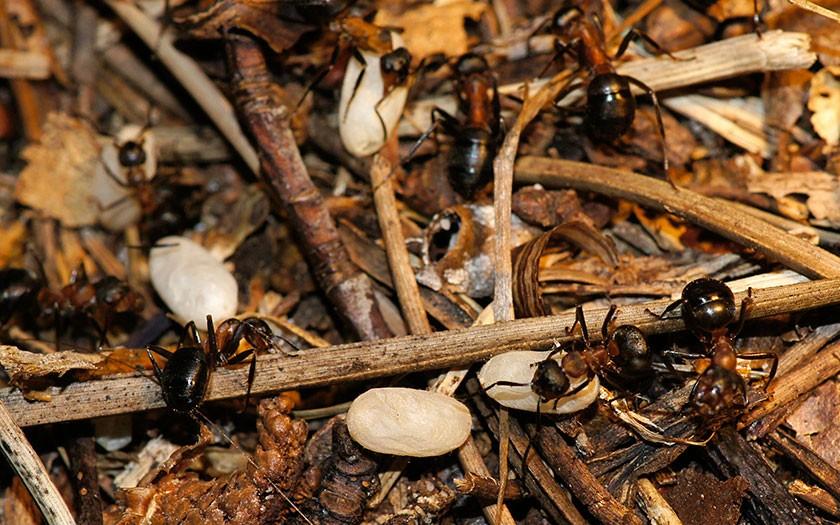 De mieren slepen met hun poppen
