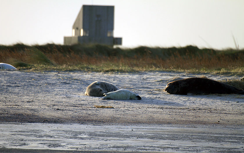 Grey seals on Griend. Photo Sophie Brasseur