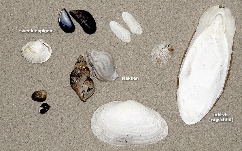 Verschillende schelpen op het strand
