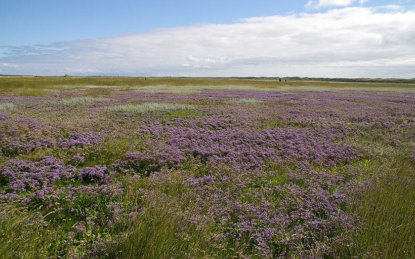 Sea lavender in the Slufter
