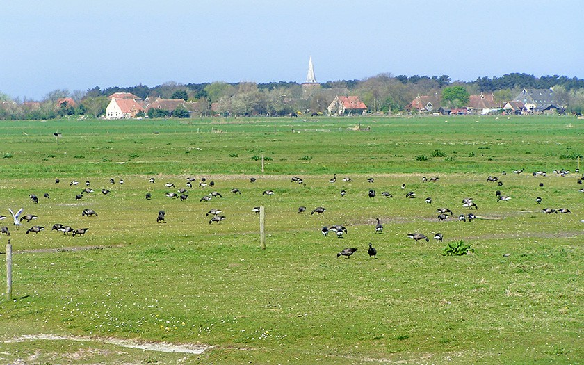 Rotganzen in de Terschellinger polder
