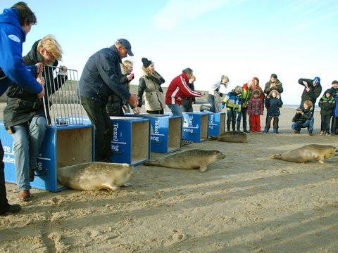 Adoptanten maken de hekjes open zodat de zeehonden weg kunnen
