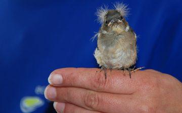 Junger Spatz in der Vogelpflegestation von Ecomare