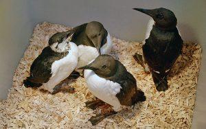Trottellummen in der Vogelpflegestation