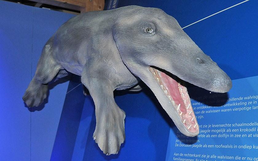 Ambulocetus, voorouder van de wavlissen, Walviszaal, Ecomare
