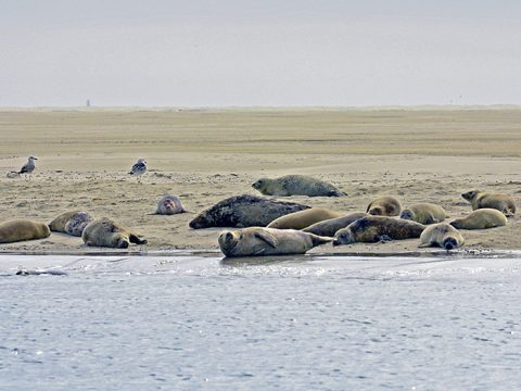 Zeehonden op de Razende Bol (© Ecomare)