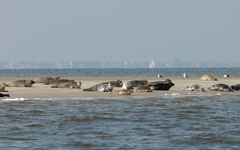 Seals lying on a sandbank
