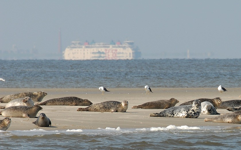 Harbour seals close to Texel (© Ecomare)