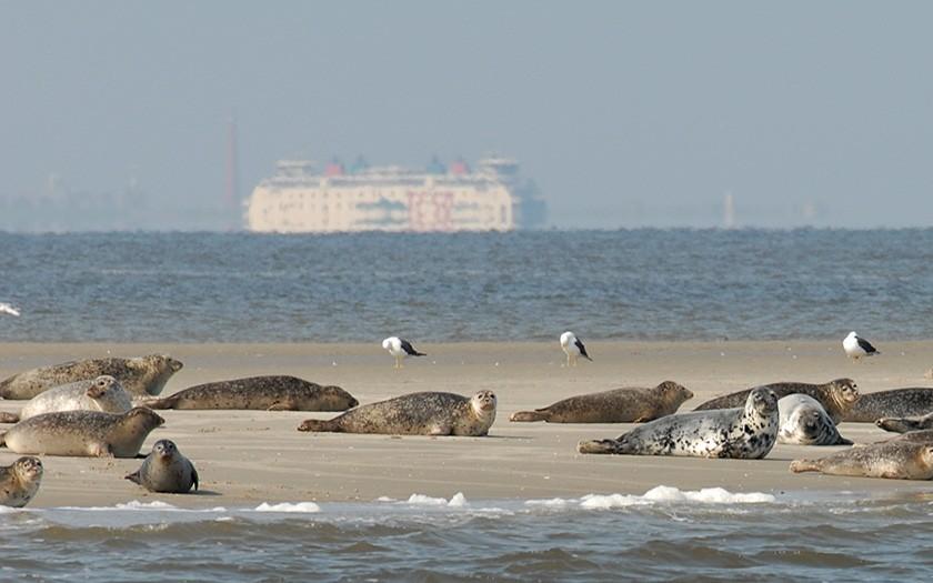 Gewone zeehonden vlakbij Texel (© Ecomare)
