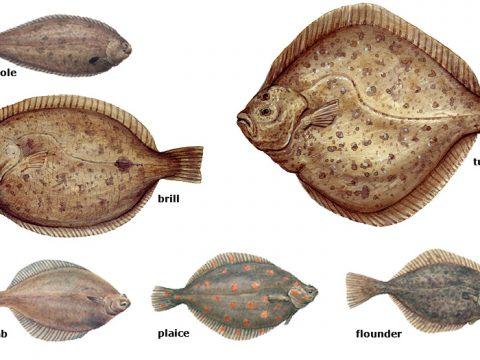 Collage flatfish
