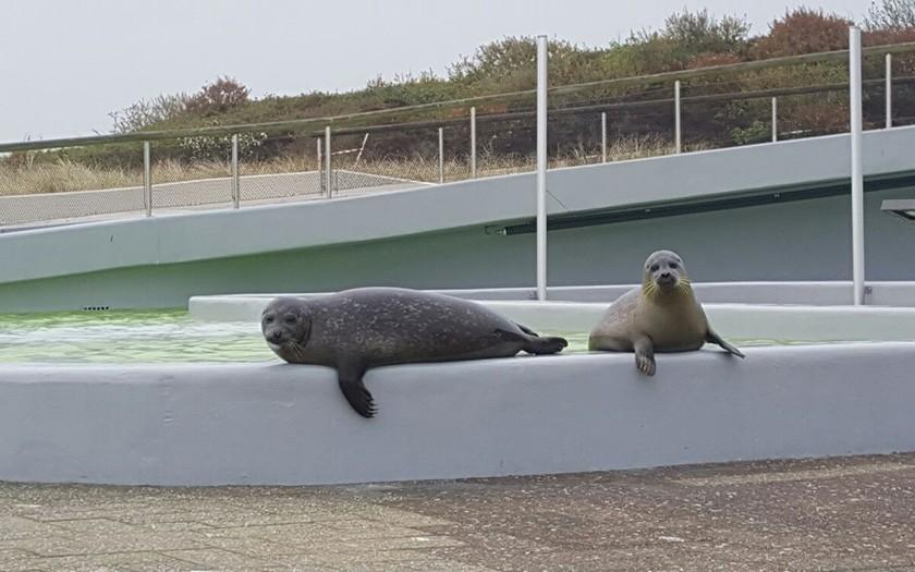 De jonge zeehonden Francia en Antonius, samen op de kant