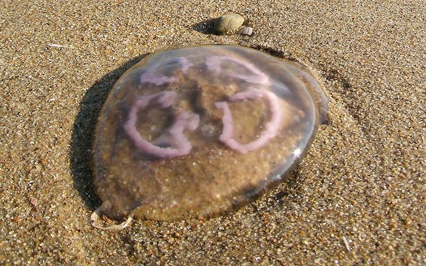 Oorkwal op het strand