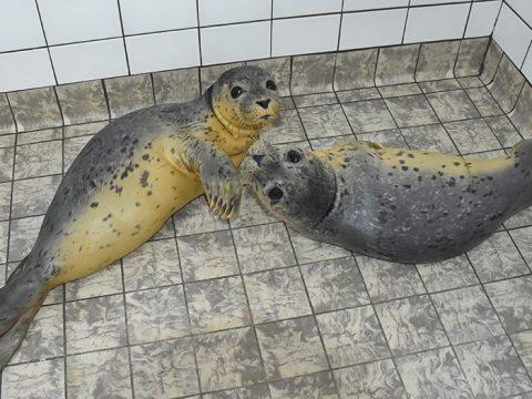 Twee jonge zeehonden, gelig door de zalmemulsie