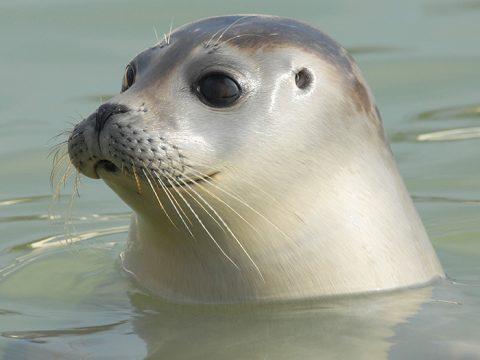 Zeehond in het water
