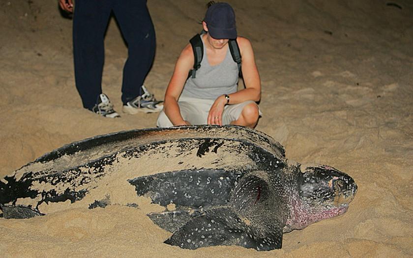 Lederschilpad op het strand (foto Leviathan)