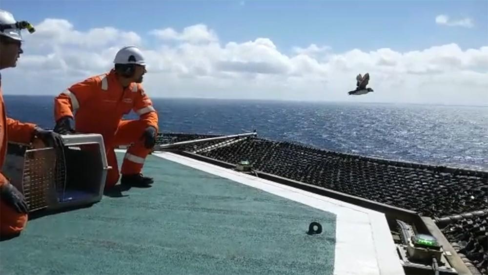 Papegaaiduiker uit opvang Ecomare terug naar zee