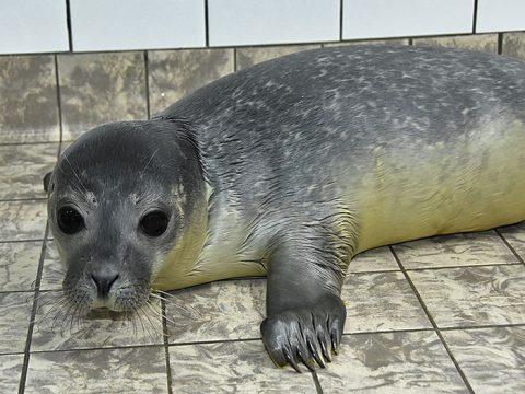 Huiler Lux, gewone zeehond