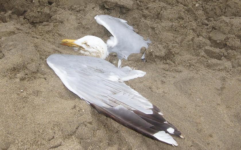 Deze meeuw in het zand kon gelukkig snel worden bevrijd (Foto Fitis, Sytske Dijksen)