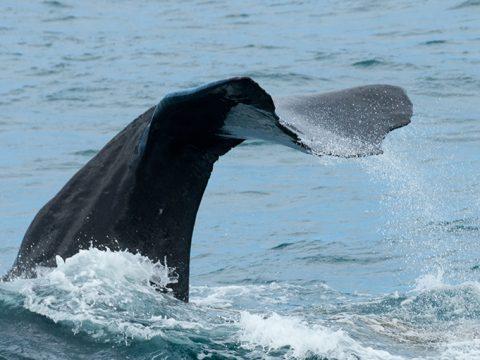 Walvisstaart boven water (foto Sylvia)