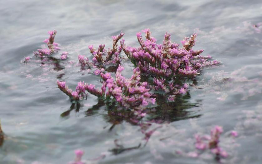 In de Slufter leven alleen planten die tegen zoutwater kunnen (Foto Fitis, Sytske Dijksen)