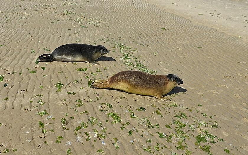 Gewone zeehonden Paula en René worden vrijgelaten