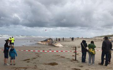 De dood aangespoelde vinvis op het strand