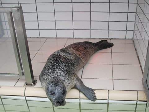 Volwassen gewone zeehond Balou in quarataineverblijf