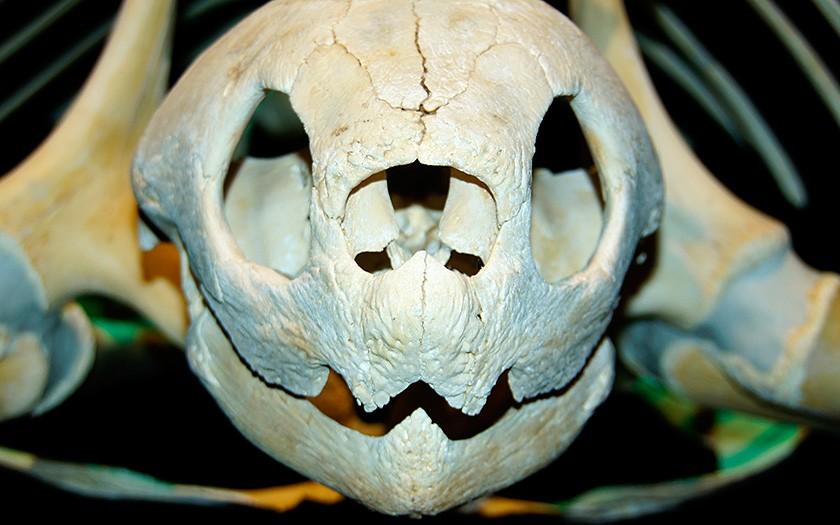Skelet lederschildpad in de expositie van Ecomare. Foto van Sytske Dijksen.