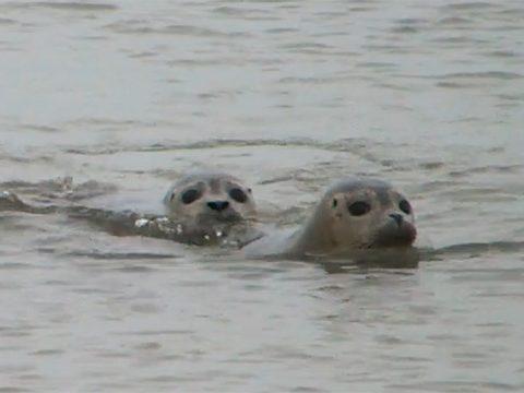 Zeehonden uit de opvang terug naar zee