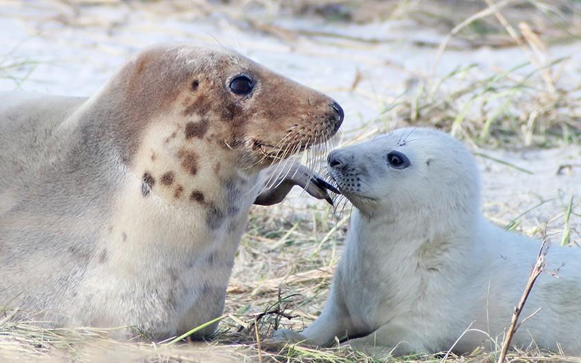 Grijze zeehond met jong