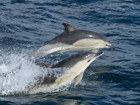 Gewone dolfijnen. Foto Marijke de Boer