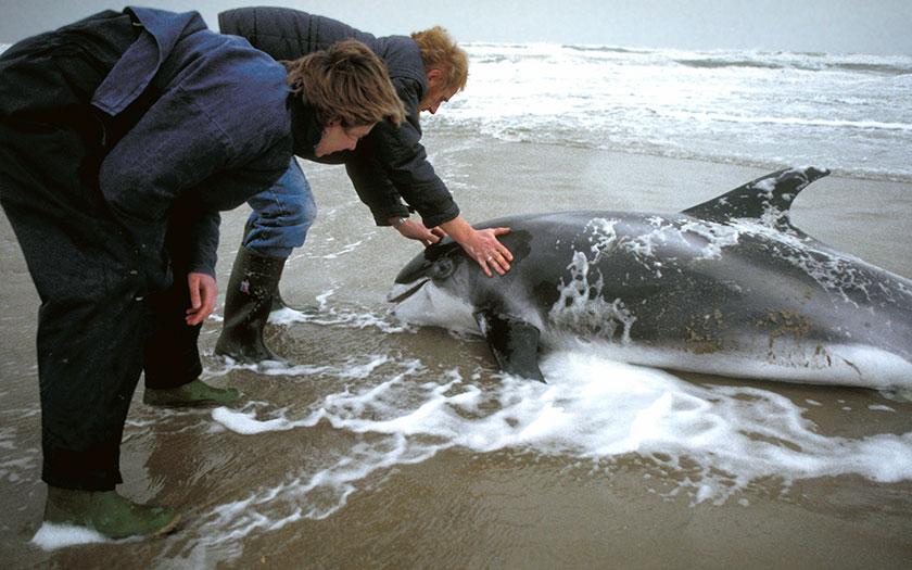 Witsnuitdolfijn gestrand op Texel