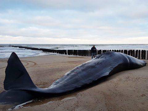 Dode Potvis op strand Domburg-strandexploitatie Veere
