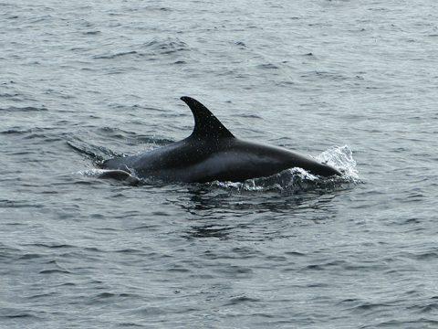 Witsnuitdolfijn in de Noordzee - copyright Marijke de Boer