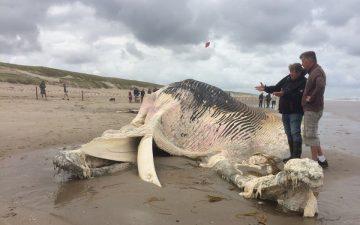 De dode vinvis op het Texelse strand